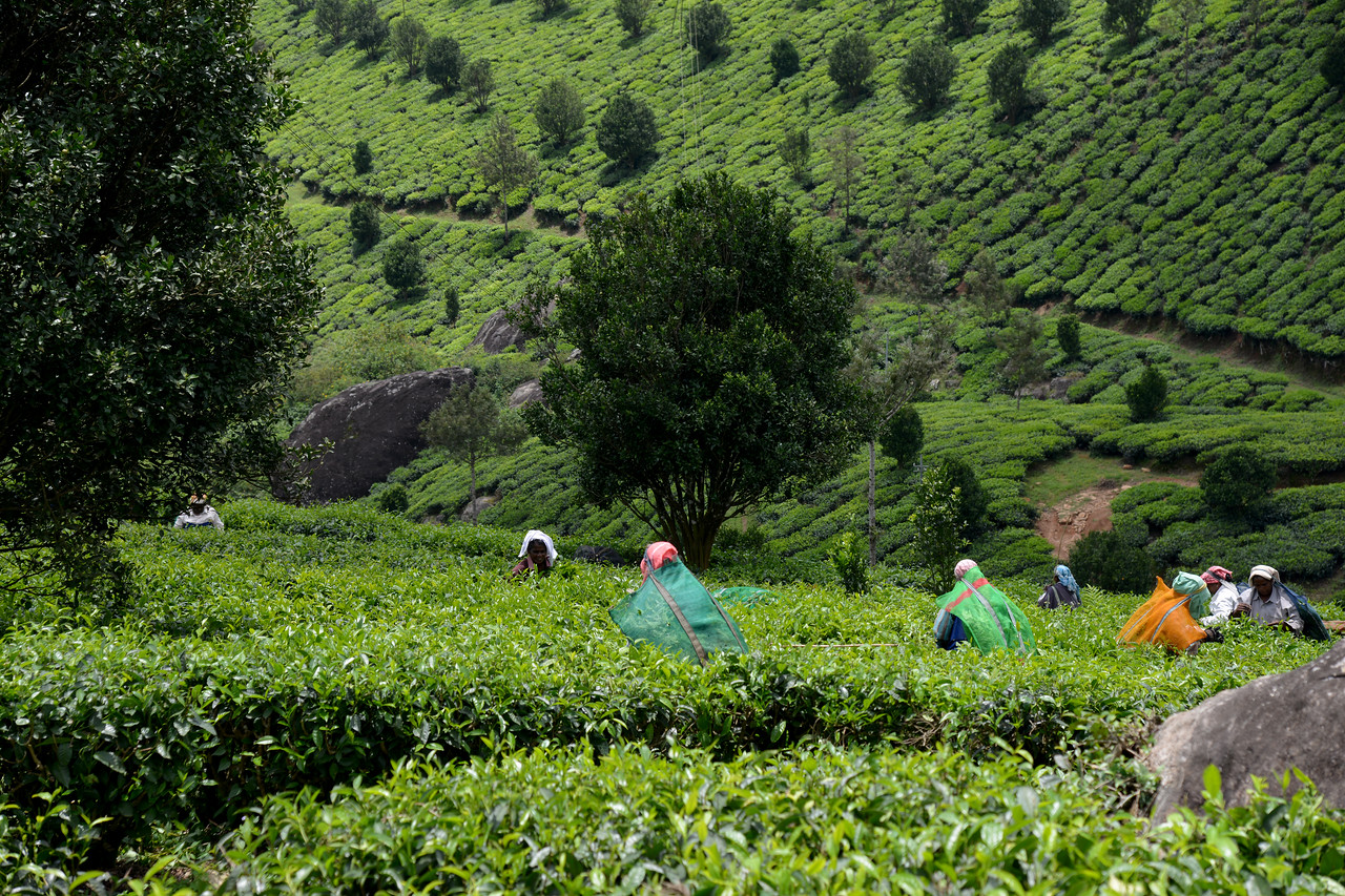 """Women plucking tea leaves in the tea estate. Munnar is an attractive destination with the world's best and renowned tea estates. There are more than 50 tea estates in and around Munnar. Most of the plantations are taken over by the Tata Group. Some of the major tea estates in Munnar include Harrison Malayalam, AVT tea, Michael's tea, Brooke Bond etc. It is one of the biggest centers of tea trade in India. Tea or Chai is the most widely drunk beverage in the whole world. The tea plant, Camellia Sansis, is a cultivated variety of a Tea planttree that has its origins in an area between India and China. <br /> <br /> Munnar ( മുന്നാർ ) is situated on the Kannan Devan Hills ( KDH ) Village in Devikulam taluk. Munnar is a famous hill station on the Western Ghats of India. A range of mountains situated in the Idukki district of the Indian state of Kerala. The name Munnar means """"three rivers"""", referring to the town's strategic location at the confluence of the Madhurapuzha, Nallathanni and Kundaly rivers."""
