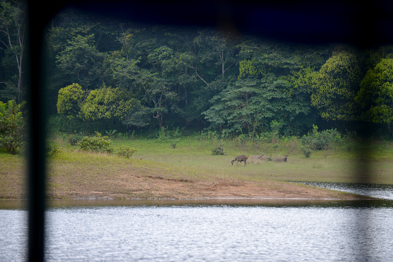 Lots of wildlife at the national partk in Thekkady (Idukki district) in Kerala at the Periyar National Park, which is an important tourist attraction in India. Thekkady sanctuary is located near the Kerala-Tamil Nadu state border and is famous for its dense evergreen, semi-evergreen, moist deciduous forests and savanna grass lands. It is home to herds of elephants, sambar, tigers, gaur, lion-tailed Macaques and Nilgiri Langurs.<br /> <br /> The Periyar Wildlife Sanctuary is spread across 777 km (300 sq mi), of which 360 km (140 sq mi) is thick evergreen forest. This wild life sanctuary was declared a Tiger Reserve in 1978. The splendid artificial lake formed by the Mullaperiyar Dam across the Periyar River adds to the charm of the park. Thekkady is also a heaven for natural spices such as black pepper, cardamom, cinnamon and clove.