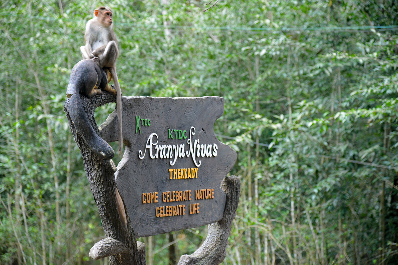 A monkey perched on top a sign (with a monkey) for Aranya Niwas, KTDC.<br /> Thekkady (Idukki district) in Kerala is the location of the Periyar National Park, which is an important tourist attraction in India. Thekkady sanctuary is located near the Kerala-Tamil Nadu state border and is famous for its dense evergreen, semi-evergreen, moist deciduous forests and savanna grass lands. It is home to herds of elephants, sambar, tigers, gaur, lion-tailed Macaques and Nilgiri Langurs.<br /> <br /> The Periyar Wildlife Sanctuary is spread across 777 km (300 sq mi), of which 360 km (140 sq mi) is thick evergreen forest. This wild life sanctuary was declared a Tiger Reserve in 1978. The splendid artificial lake formed by the Mullaperiyar Dam across the Periyar River adds to the charm of the park. Thekkady is also a heaven for natural spices such as black pepper, cardamom, cinnamon and clove.