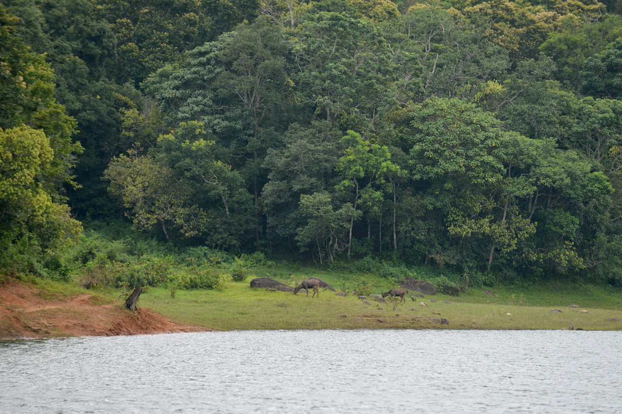 Lots of wildlife at the national partk in Thekkady (Idukki district) in Kerala at the Periyar National Park, which is an important tourist attraction in India. <br /> Thekkady sanctuary is located near the Kerala-Tamil Nadu state border and is famous for its dense evergreen, semi-evergreen, moist deciduous forests and savanna grass lands. It is home to herds of elephants, sambar, tigers, gaur, lion-tailed Macaques and Nilgiri Langurs.<br /> <br /> The Periyar Wildlife Sanctuary is spread across 777 km (300 sq mi), of which 360 km (140 sq mi) is thick evergreen forest. This wild life sanctuary was declared a Tiger Reserve in 1978. The splendid artificial lake formed by the Mullaperiyar Dam across the Periyar River adds to the charm of the park. Thekkady is also a heaven for natural spices such as black pepper, cardamom, cinnamon and clove.