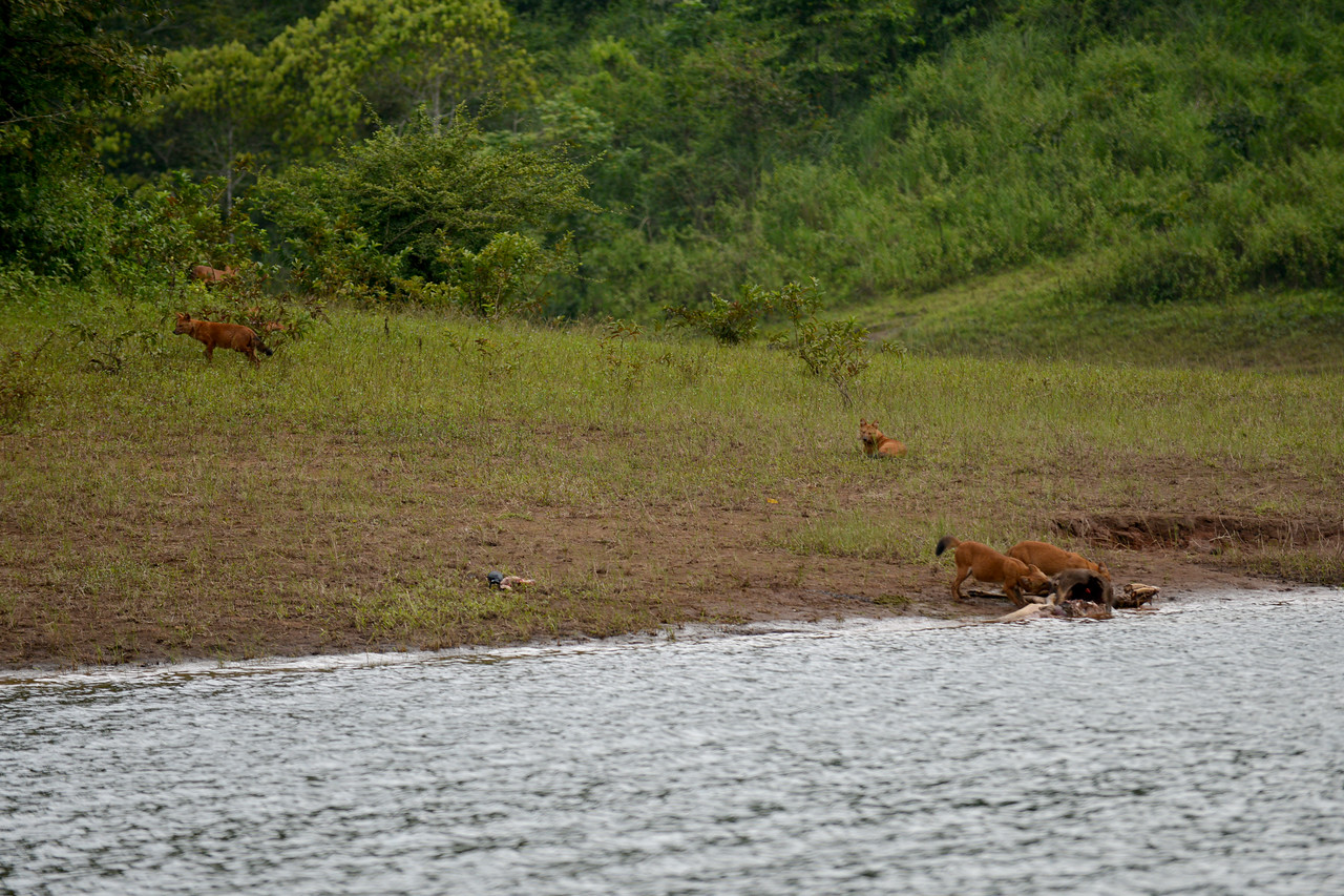 Pack of wild dogs at a caracas of wild boar. Seeing a wild boar approaching the dogs gang up to drive him away. Thekkady (Idukki district) in Kerala is the location of the Periyar National Park, which is an important tourist attraction in India. Thekkady sanctuary is located near the Kerala-Tamil Nadu state border and is famous for its dense evergreen, semi-evergreen, moist deciduous forests and savanna grass lands. It is home to herds of elephants, sambar, tigers, gaur, lion-tailed Macaques and Nilgiri Langurs.<br /> <br /> The Periyar Wildlife Sanctuary is spread across 777 km (300 sq mi), of which 360 km (140 sq mi) is thick evergreen forest. This wild life sanctuary was declared a Tiger Reserve in 1978. The splendid artificial lake formed by the Mullaperiyar Dam across the Periyar River adds to the charm of the park. Thekkady is also a heaven for natural spices such as black pepper, cardamom, cinnamon and clove.