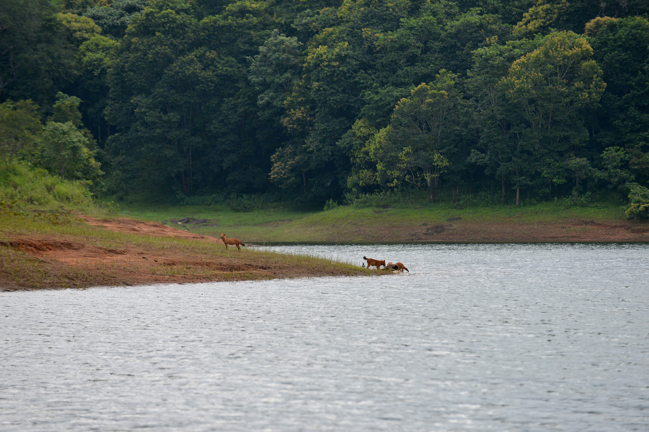 Pack of wild dogs at a caracas of wild boar. <br /> <br /> Thekkady (Idukki district) in Kerala is the location of the Periyar National Park, which is an important tourist attraction in India. Thekkady sanctuary is located near the Kerala-Tamil Nadu state border and is famous for its dense evergreen, semi-evergreen, moist deciduous forests and savanna grass lands. It is home to herds of elephants, sambar, tigers, gaur, lion-tailed Macaques and Nilgiri Langurs.<br /> <br /> The Periyar Wildlife Sanctuary is spread across 777 km (300 sq mi), of which 360 km (140 sq mi) is thick evergreen forest. This wild life sanctuary was declared a Tiger Reserve in 1978. The splendid artificial lake formed by the Mullaperiyar Dam across the Periyar River adds to the charm of the park. Thekkady is also a heaven for natural spices such as black pepper, cardamom, cinnamon and clove.