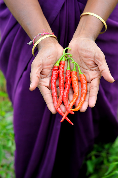 Growing chillies in villages in rural India in the state of Maharashtra & MP.