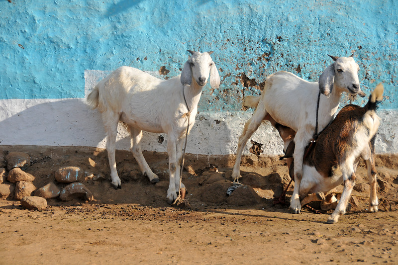 A goat suckling from the mother in a village in rural India in the state of Maharashtra.