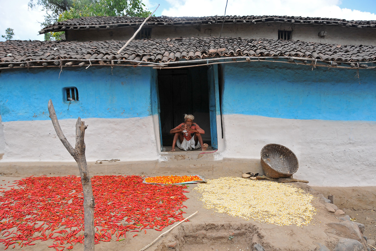 Drying chillies in open Sun.<br /> Villages in rural India in the state of Maharashtra.