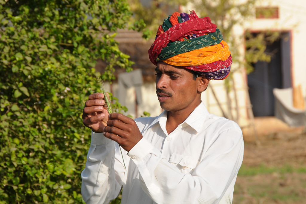 Sayar Singh who is a farmer inspecting his roses in his farm land at their home in Chamunda Matha Road, Pushkar.<br /> <br /> The town of Pushkar is located 14 km North West of Ajmer. Pushkar is one of the oldest cities of India. It  has in recent years become a popular destination for foreign tourists. Pushkar, Rajasthan, India.