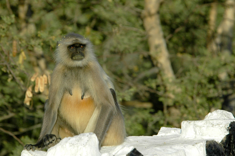 Monkeys enroute from Ajmer to Pushkar, Western India.