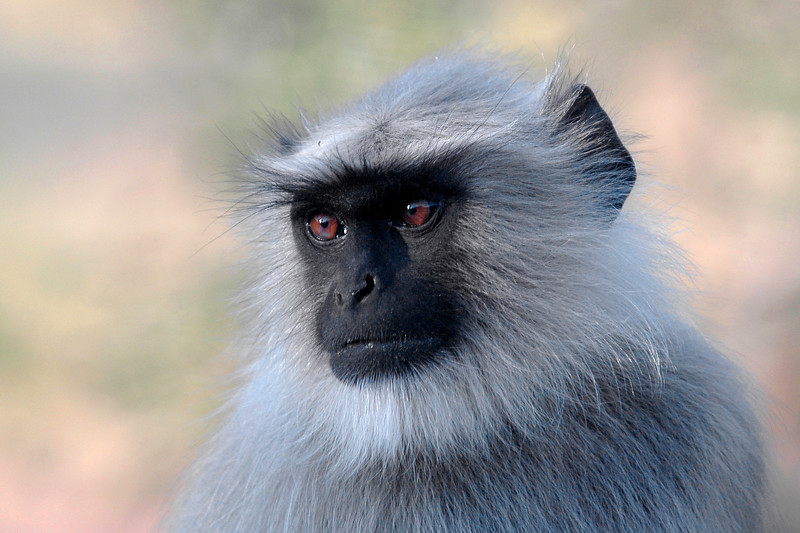Monkeys enroute from Ajmer to Pushkar, Western India.
