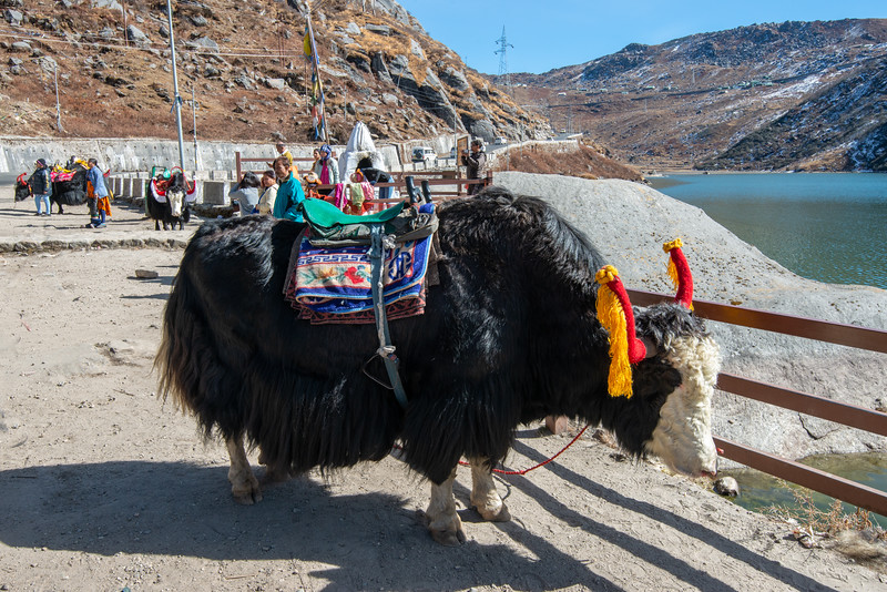 Yak waiting to take tourists for a ride near Tsomgo Lake (त्सोम्गो लेक) during season. The Tsomgo lake at an altitude of over 10,000 ft is surrounded by mountains.