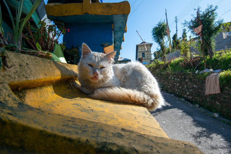 Cat perched on the wall near Rumtek Dharma Chakra Centre (रूमटेक धर्मचक्र केन्द्र), Tsurphu Labrang Pal Karmae Sangha Dhuche, Sikkim, India. Colourful 17th century tranquil Buddhist monastery with scenic views including Gangtok city.