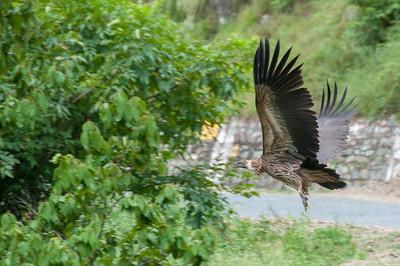 Birds of prey not far from Dandeshwar temple, Binsar, Uttarakhand, India.