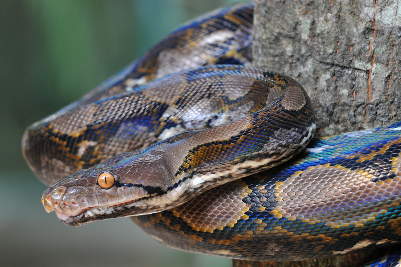 Close up of the slithering python snake at Bali Zoo.<br /> Bali Zoo, Singapadu (near Ubud), Bali. Situated in the cultural heart of Bali, the zoo is only 15 minutes drive from Ubud, and 45 minutes from the tourist areas of Kuta.