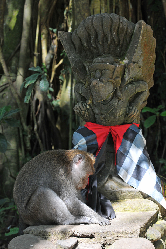 Having failed in either undressing or eating the wrap around, the monkey seems to be begging forgivness. :)<br /> Ceremony at the Temple in The Ubud Monkey Forest. The Forest is a nature reserve and temple complex in Ubud, Bali. It houses over 200 Crab-eating Macaque (Macaca fascicularis) monkeys. There are four groups of monkeys each occupying different territories in the park. The Sacred Monkey Forest is a popular tourist attraction in Ubud.<br /> <br /> Bali is an Indonesian island with the provincial capital at Denpasar. Lying between Java to the west and Lombok to the east, the island is home to the largest tourist destination in the country and is renowned for its highly developed arts, including dance, sculpture, painting, leather, metalworking and music. What's interesting is that while Indonesia has the world's largest Muslim population, on the island of Bali, 93% of the population is Balinese Hindu and one can find Hinduism in each and every aspect of the life and living.