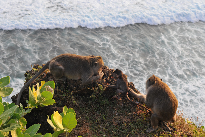 Infamous monkeys of Uluwatu.<br /> <br /> Pura Luhur Uluwatu, Bali. <br /> Pura Luhur Uluwatu is one of Bali's kayangan jagat (directional temples) and guards Bali from evil spirits from the south-west. Major Hindu deities dwell in Uluwatu such as - Bhatara Rudra, God of the elements and of cosmic force majeures. Bali's most spectacular temples located high on a cliff top at the edge of a plateau 250 feet above the waves of the Indian Ocean. Uluwatu lies at the southern tip of Bali in Badung Regency. Dedicated to the spirits of the sea, the famous Pura Luhur Uluwatu temple is an architectural wonder in black coral rock, beautifully designed with spectacular views. This is a popular place to enjoy the sunset. Famous not only for its unique position, Uluwatu also boasts one of the oldest temples in Bali, Pura Uluwatu. Most of Bali's regencies have Pura Luhur (literally high temples or ascension temples) which become the focus for massive pilgrimages during three or five day odalan anniversaries. The photogenic Tanah Lot and the Bat Cave temple, Goa Lawah, are also Pura Luhur. Not all Pura Luhur are on the coast, however but all have inspiring locations, overlooking large bodies of water.<br /> <br /> Uluwatu is a small village on the west coast, south of Jimbaran, but for most visitors it refers only to the famous temple of the same name and several kilometers further south at the coast. A taxi from Kuta to Uluwatu takes about 30 minutes up and down winding roads.<br /> <br /> The temple is inhabited by large number of monkeys, who are extremely adept at snatching visitors' belonging, including bags, cameras and eyeglasses. One has to keep a very close grip on all your belongings. Anu carried a stick like some others and I carried my tripod. :)<br /> If you do have something taken, the monkeys can usually be induced to exchange it for some fruit. Needless to say, rewarding the monkeys like this only encourages them to steal more. Locals and even the temple priests wil