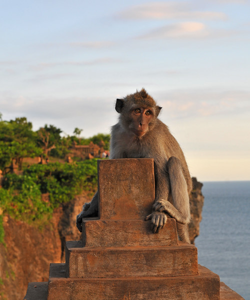 A monkey holds onto the walls of Pura Luhur Uluwatu, Bali. <br /> Pura Luhur Uluwatu is one of Bali's kayangan jagat (directional temples) and guards Bali from evil spirits from the south-west. Major Hindu deities dwell in Uluwatu such as - Bhatara Rudra, God of the elements and of cosmic force majeures. Bali's most spectacular temples located high on a cliff top at the edge of a plateau 250 feet above the waves of the Indian Ocean. Uluwatu lies at the southern tip of Bali in Badung Regency. Dedicated to the spirits of the sea, the famous Pura Luhur Uluwatu temple is an architectural wonder in black coral rock, beautifully designed with spectacular views. This is a popular place to enjoy the sunset. Famous not only for its unique position, Uluwatu also boasts one of the oldest temples in Bali, Pura Uluwatu. Most of Bali's regencies have Pura Luhur (literally high temples or ascension temples) which become the focus for massive pilgrimages during three or five day odalan anniversaries. The photogenic Tanah Lot and the Bat Cave temple, Goa Lawah, are also Pura Luhur. Not all Pura Luhur are on the coast, however but all have inspiring locations, overlooking large bodies of water.<br /> <br /> Uluwatu is a small village on the west coast, south of Jimbaran, but for most visitors it refers only to the famous temple of the same name and several kilometers further south at the coast. A taxi from Kuta to Uluwatu takes about 30 minutes up and down winding roads.<br /> <br /> The temple is inhabited by large number of monkeys, who are extremely adept at snatching visitors' belonging, including bags, cameras and eyeglasses. One has to keep a very close grip on all your belongings. Anu carried a stick like some others and I carried my tripod. :)<br /> If you do have something taken, the monkeys can usually be induced to exchange it for some fruit. Needless to say, rewarding the monkeys like this only encourages them to steal more. Locals and even the temple priests will be happy to do the job for you, naturally i