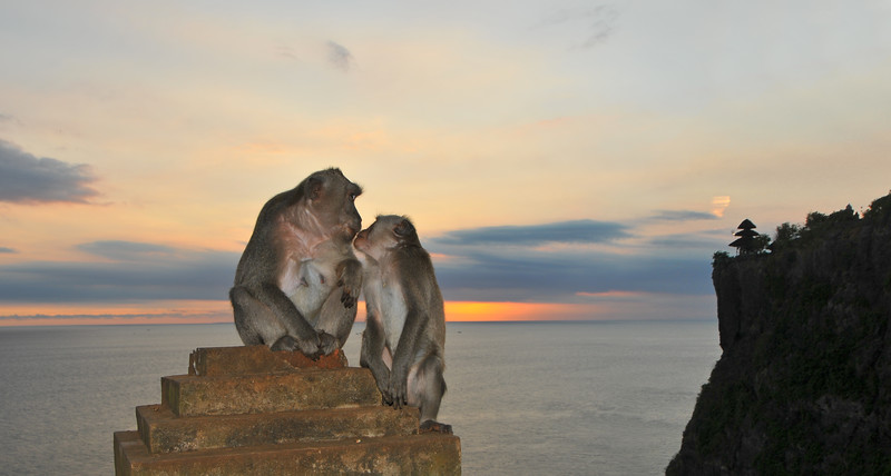 Love and kissing at Uluwatu. (Monkey style) :)<br /> <br /> Pura Luhur Uluwatu, Bali. <br /> Pura Luhur Uluwatu is one of Bali's kayangan jagat (directional temples) and guards Bali from evil spirits from the south-west. Major Hindu deities dwell in Uluwatu such as - Bhatara Rudra, God of the elements and of cosmic force majeures. Bali's most spectacular temples located high on a cliff top at the edge of a plateau 250 feet above the waves of the Indian Ocean. Uluwatu lies at the southern tip of Bali in Badung Regency. Dedicated to the spirits of the sea, the famous Pura Luhur Uluwatu temple is an architectural wonder in black coral rock, beautifully designed with spectacular views. This is a popular place to enjoy the sunset. Famous not only for its unique position, Uluwatu also boasts one of the oldest temples in Bali, Pura Uluwatu. Most of Bali's regencies have Pura Luhur (literally high temples or ascension temples) which become the focus for massive pilgrimages during three or five day odalan anniversaries. The photogenic Tanah Lot and the Bat Cave temple, Goa Lawah, are also Pura Luhur. Not all Pura Luhur are on the coast, however but all have inspiring locations, overlooking large bodies of water.<br /> <br /> Uluwatu is a small village on the west coast, south of Jimbaran, but for most visitors it refers only to the famous temple of the same name and several kilometers further south at the coast. A taxi from Kuta to Uluwatu takes about 30 minutes up and down winding roads.<br /> <br /> The temple is inhabited by large number of monkeys, who are extremely adept at snatching visitors' belonging, including bags, cameras and eyeglasses. One has to keep a very close grip on all your belongings. Anu carried a stick like some others and I carried my tripod. :)<br /> If you do have something taken, the monkeys can usually be induced to exchange it for some fruit. Needless to say, rewarding the monkeys like this only encourages them to steal more. Locals and even the 