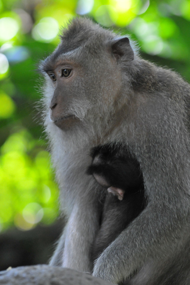 Female moneky with her little baby. The Ubud Monkey Forest is a nature reserve and temple complex in Ubud, Bali. It houses over 200 crab-eating Macaque (Macaca fascicularis) monkeys. There are four groups of monkeys each occupying different territories in the park. The Sacred Monkey Forest is a popular tourist attraction in Ubud. The Monkey Forest is owned by the village of Padangtegal and village members serve on the Monkey Forest's governing council. The Padangtegal Wenara Wana Foundation manages the Monkey Forest and serves to maintain its sacred integrity and to promote the sacred site as a destination for visitors.<br /> <br /> Bali is an Indonesian island with the provincial capital at Denpasar. Lying between Java to the west and Lombok to the east, the island is home to the largest tourist destination in the country and is renowned for its highly developed arts, including dance, sculpture, painting, leather, metalworking and music. What's interesting is that while Indonesia has the world's largest Muslim population, on the island of Bali, 93% of the population is Balinese Hindu and one can find Hinduism in each and every aspect of the life and living.