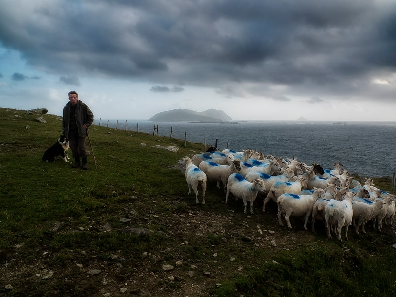A farmer and his dog looking after the sheep on a hillside in south west Ireland, 2013.