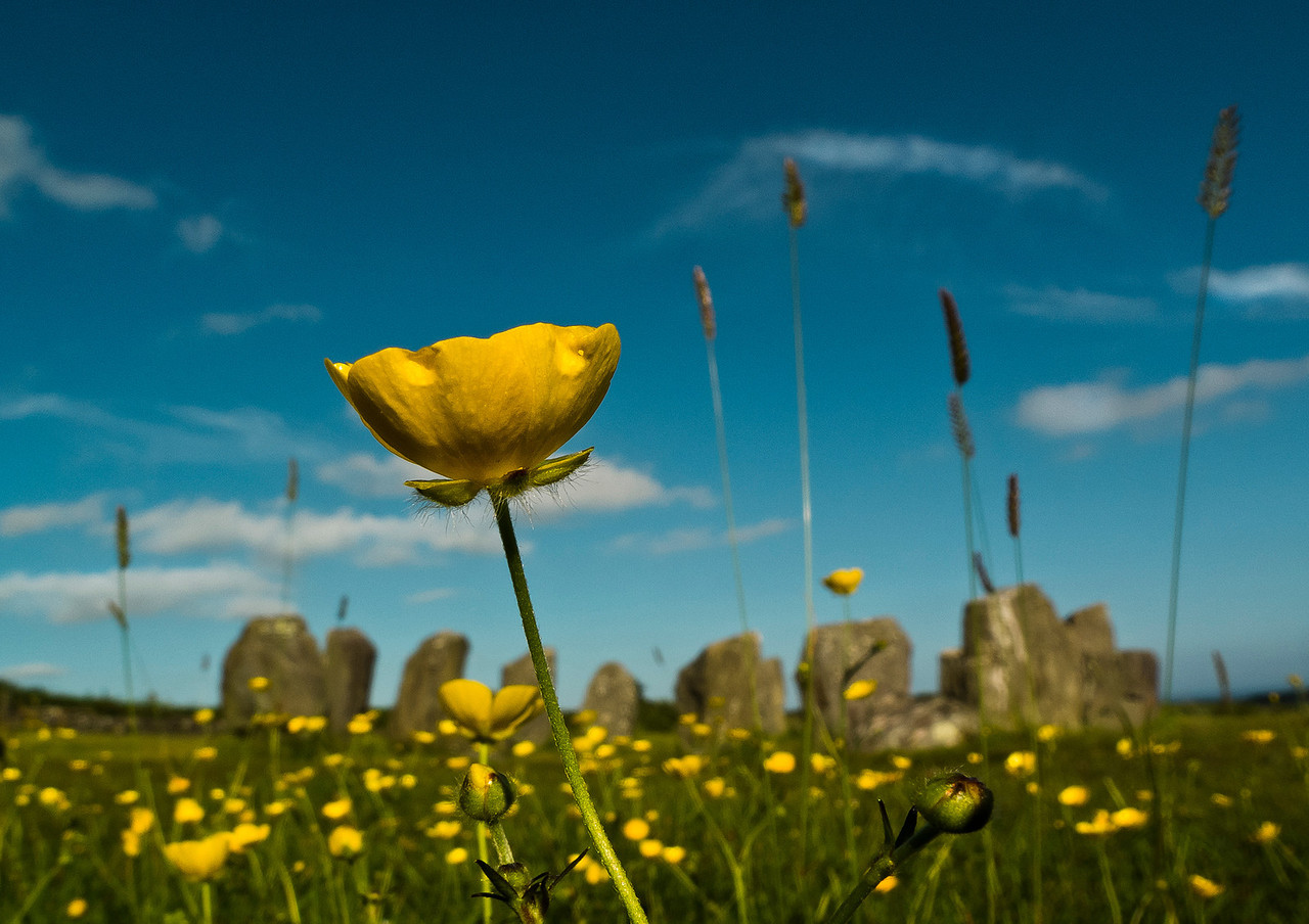 Flower by Drombeg Stone Circle, County Cork, Republic of Ireland, 2013.