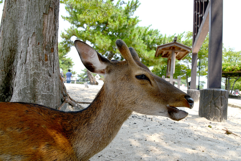 Free moving deers are happy to get into any food. Miyajima (宮島町) is a town located on the island of Itsukushima in Saeki District, Hiroshima Prefecture, Japan.<br /> <br /> Hiroshima (広島市) is the capital of Hiroshima Prefecture, and the largest city in the Chūgoku region of western Honshu, which is the largest island of Japan. It is recongnized as the first city in history to be targeted by a nuclear weapon when the United States Army Air Forces (USAAF) dropped an atomic bomb on it at 8:15 a.m. on August 6, 1945, near the end of World War II. Hiroshima is situated on the Ōta River delta, on Hiroshima Bay, facing the Seto Inland Sea on its south side. The river's six channels divide Hiroshima into several islets.