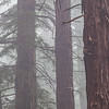 Redwood Trees in Fog