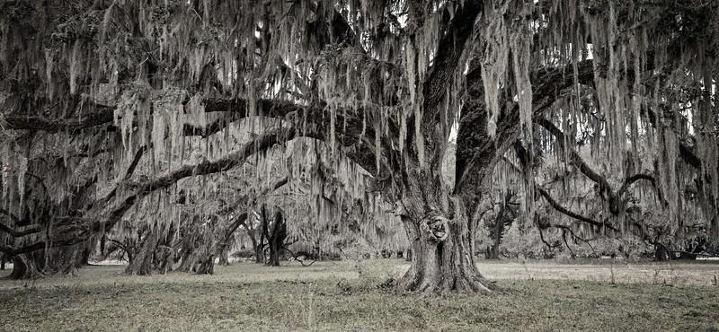 Southern Live Oak Panorama
