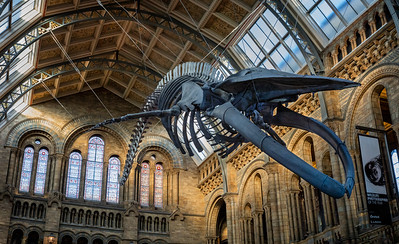 """Hope"" the Blue Whale skeleton"