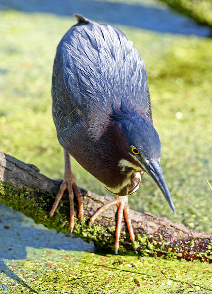 Green Heron<br /> Magee Marsh