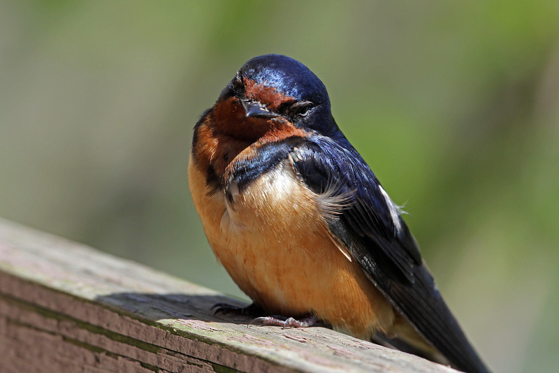 Barn Swallow<br /> Magee Marsh