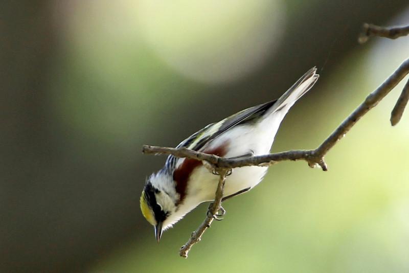 Chestnut-sided Warbler<br /> Magee Marsh