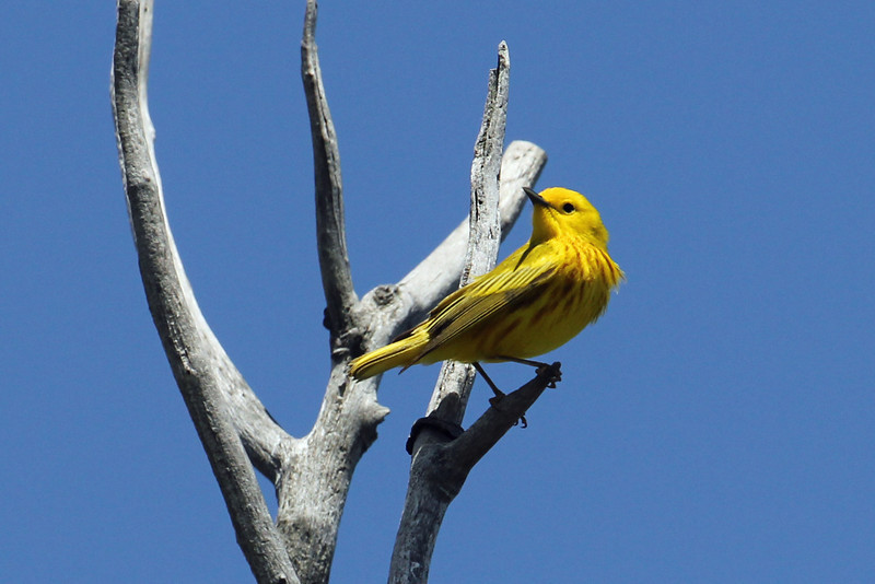 Yellow Warbler<br /> Magee Marsh