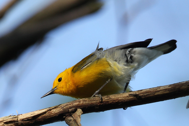 Prothonotary Warbler<br /> Magee Marsh