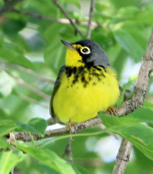 Canada Warbler<br /> Magee Marsh