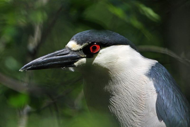 Black-crowned Night-Heron<br /> Magee Marsh