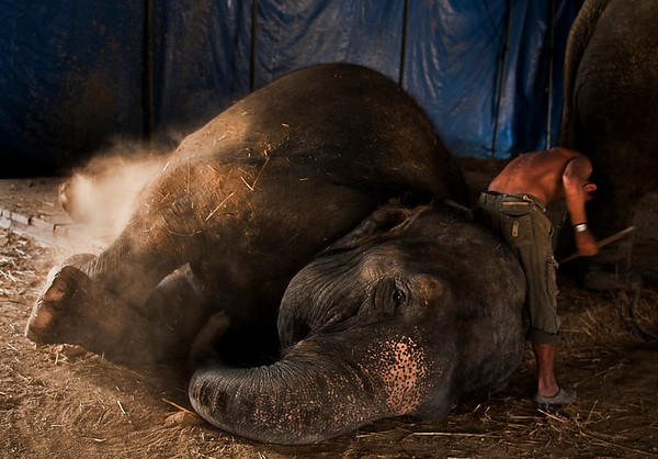 "Suna is seen here getting a scrub before her next act. Much has been said for animals in the circus. As far as the circus artists are concerned the circus would seize to exist as we know it without the animals. Or like Frank said to me "" I have grown up with mara and suna"""