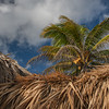 Coconut palm above a thatch roof of a palapa on a beautiful day in Mexico's Yucatan Peninsula