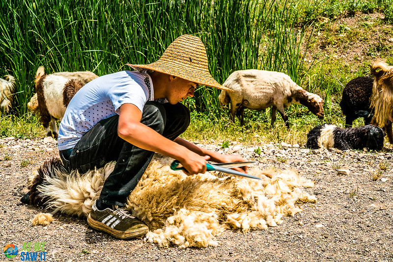 Kurdish boy shears a sheep by habd, as they have done for millennia.