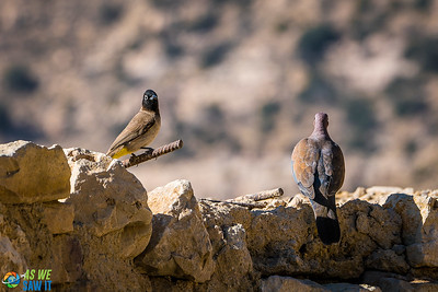 Lesser Kestrel perched with a dove at Dana Biosphere