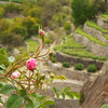 Rose terraces in Al Aqar