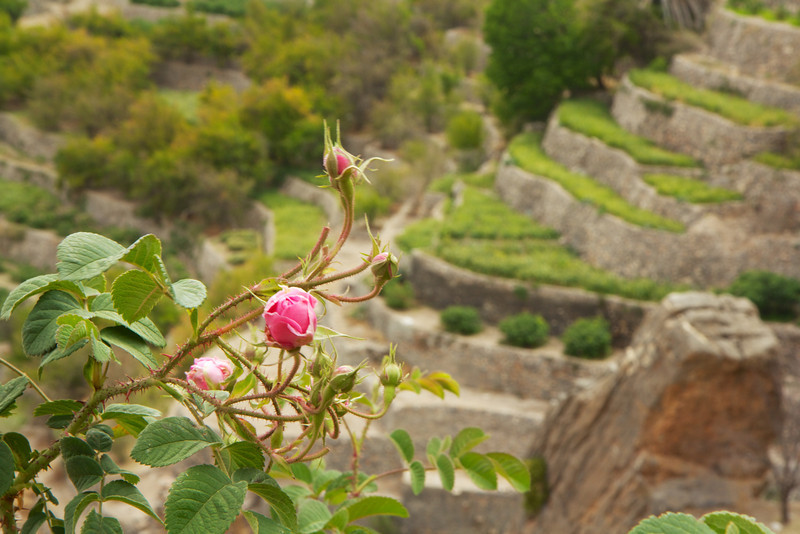 Rose terraces in Al Aqar