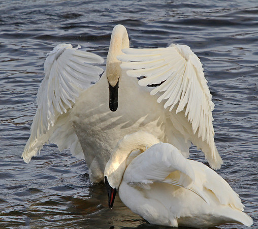 Trumpeter swans, #0790