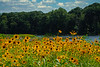 Black Eyed Susans, #2009