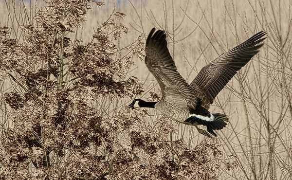 Canadian Goose in spring grass and waters of Arden Hills, Mn. #0326