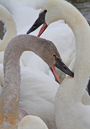 Juvenile and mom Trumpeter Swans - #0785