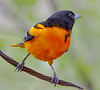 Oriole along the St. Croix River, WI - #0692