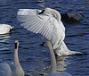 Trumpeter swans, #0615