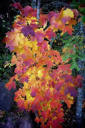 Fall color folliage at Caribou Ski Hill, Lutsen, #0482,