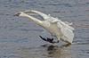 3 point landing Swan; #1081