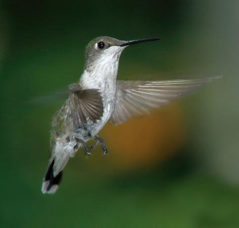 Rubythroated Hummingbird female in Minnesota, #0442