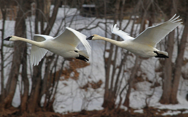 Duet of Trumpeter Swans - #0607